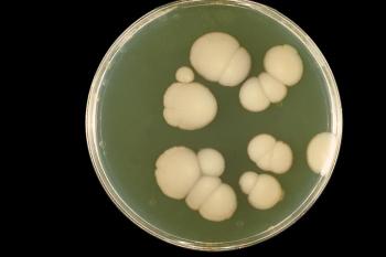 Колонии живых грибков-кандид