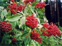 Цветки бузины черной где можно купить спб — 12
