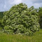 Бузина травянистая
