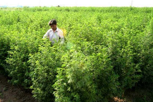плантации Artemisia Annua
