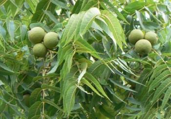 Для заготовки и переработки годятся сочные и мягкие незрелые плоды