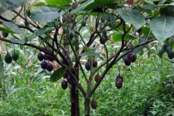Практически созревшие орехи заготавливать не имеет смысла