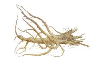 Корень алтея лекарственный помогает связывать продукты разложения эстрогенов в кишечнике и выводить их из организма