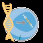 Встраивание химерного антигенного рецептора в ДНК Т-лимфоцита