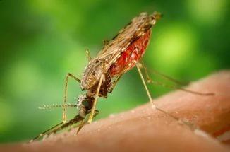 Малярийный комар – переносчик малярийного плазмодия